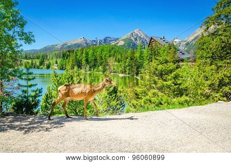 Cow moose walks the path beside a mountain lake