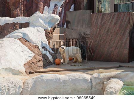 Polar Bear (ursus Maritimus) In Ueno Zoo, Tokyo, Japan