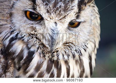 Portrait Of The Eurasian Eagle Owl (bubo Bubo)