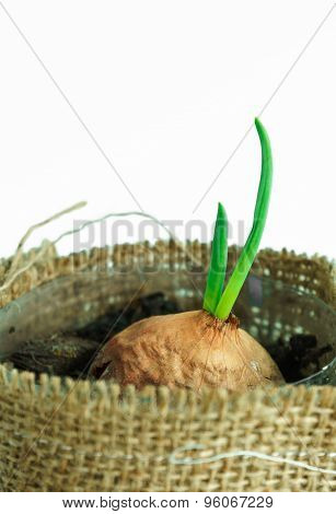 Onion Growth With New Green Leaf In Pots