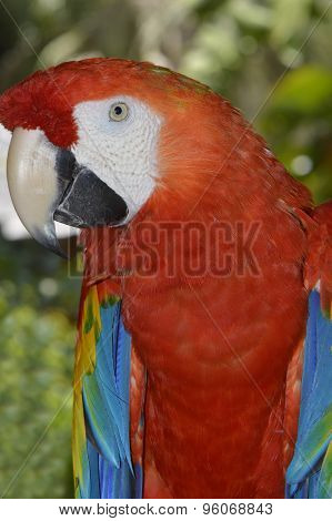 Scarlet macaw Latin name Ara macao