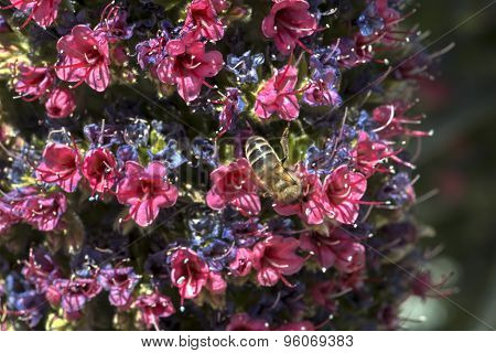 Flower Echium Wildpretii, Tajinaste
