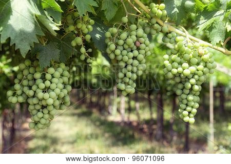 Bunches Of Unripe White Grapes