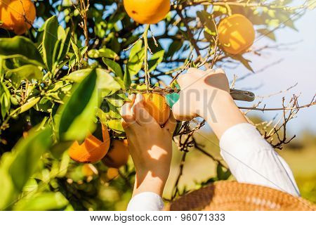 Young boy picking mandarins at citrus farm on sunny summer day
