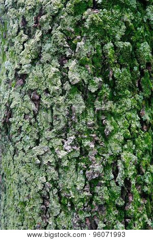 Texture Of Moss On Tree