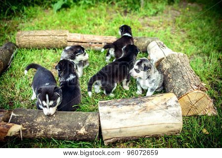 Pretty Little Husky Puppies Outdoor In The Garden