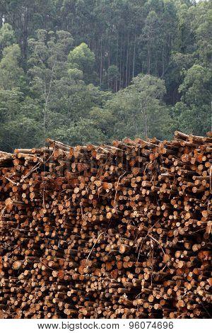 Eucalytus Logs