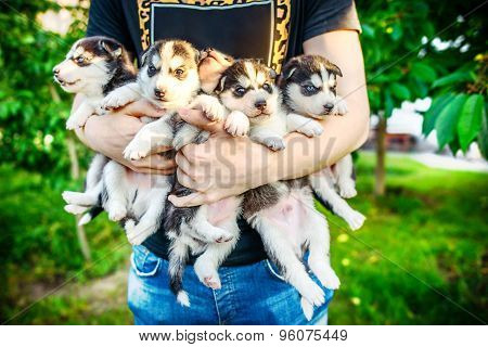 Pretty Little Husky Puppy Outdoor In Hands