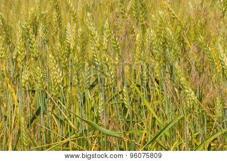 Field with unripe crop