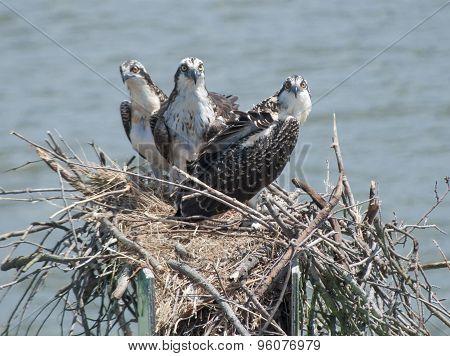 Three Ospreys