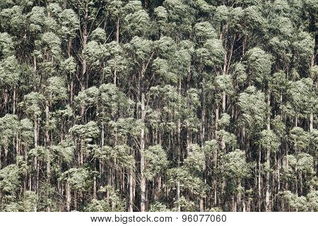 Eucalyptus forest of eucalyptus