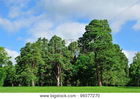 Meadows grass, edges of pine forest. Wild plants and pine forest.