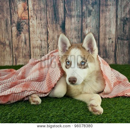 Cozy Husky Puppy