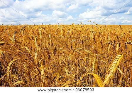 Field Wheat
