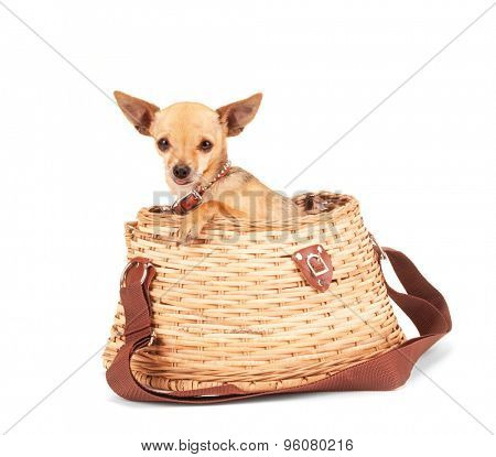 a cute chihuahua in a fishing creel basket isolated on a white background