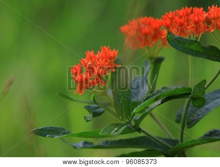 Butterfly milkweed is North east america plant with clustered orange flowers