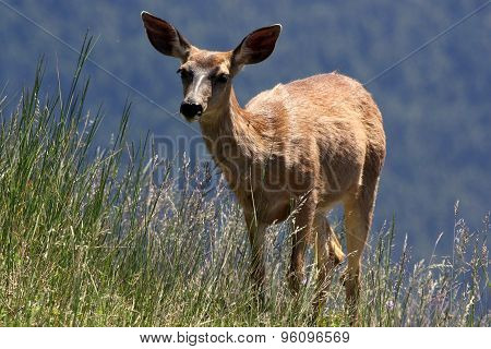 Mule Deer in the Mountains