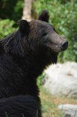 stock photo of omnivores  - Ussuri Brown Bear  - JPG