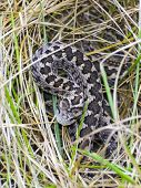 foto of dry grass  - Hungarian meadow viper  - JPG