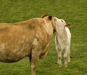 picture of charolais  - motherly love a baby spring calf adores its charolais mother cow - JPG