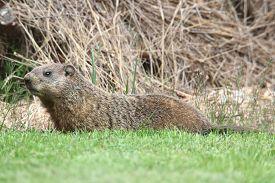 stock photo of groundhog  - Groundhog  - JPG