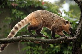 stock photo of jungle animal  - South American coati  - JPG
