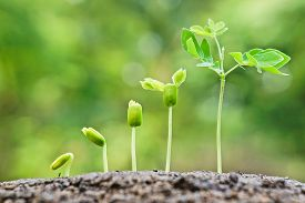 foto of germination  - baby plants growing in germination sequence on fertile soil with natural green background - JPG