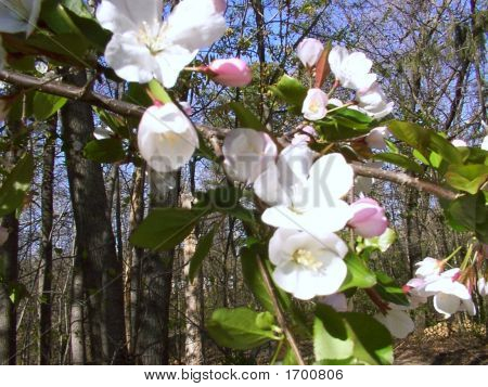 Perfect Spring Apple Blossoms