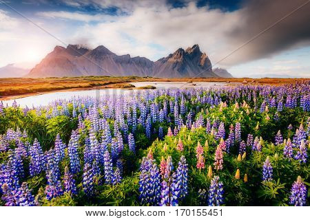 Magical lupine flowers glowing by