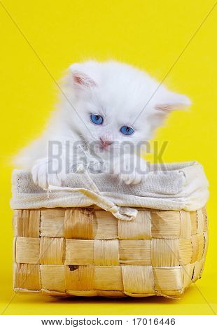 White kitten in a basket...Studio shot.