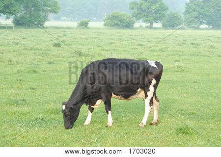 Grazing Dairy Cow