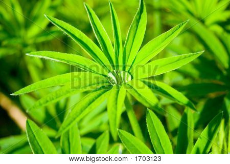 Leaf Of A Lupin Close Up