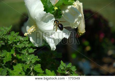 Flying Bee Pollinating