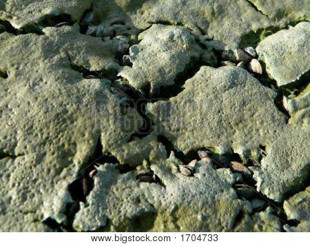 blau-grüne Algen