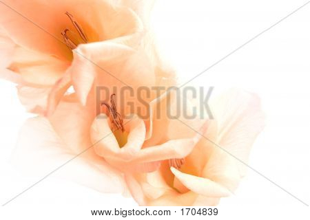 Gladiolus Abstract Background Isolated On White