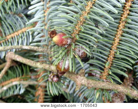 Fir Fruit