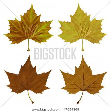 colorful autumn leaves from front and back with clipping mask
