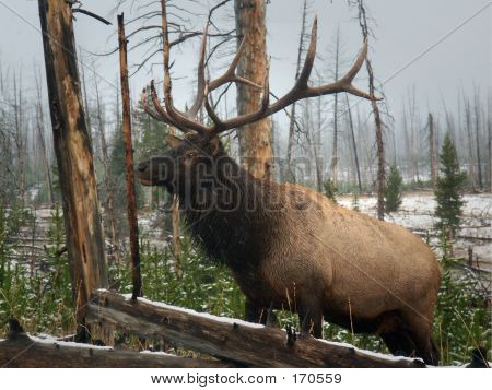 Elk Yellowstone
