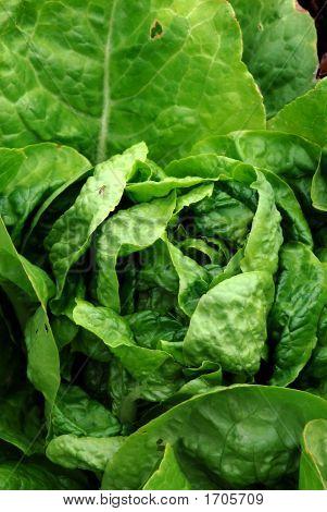 Lettuce Plant