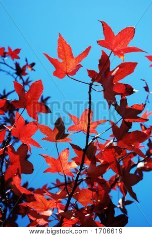 Red Autumn Maple Tree