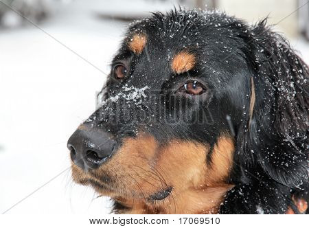 Howavart puppy in winter