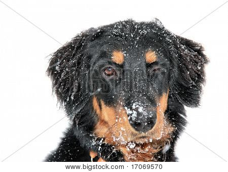 Blinking puppy covered with snow