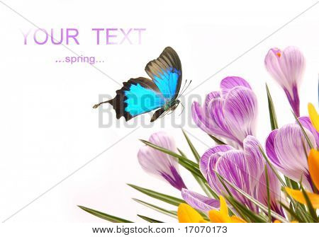 Exotic butterfly with spring crocusses