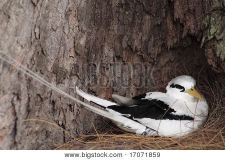 White tailed Tropicbird mascott of the seychelles island in curieuse or curious island