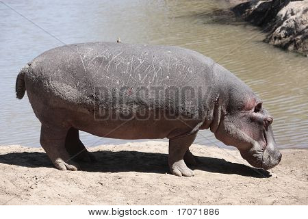 happy Hippopotamus (always smiling) in the marra river in the masai mara reserve in kenya africa