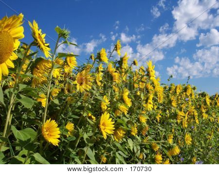 Wall Of Sunflowers