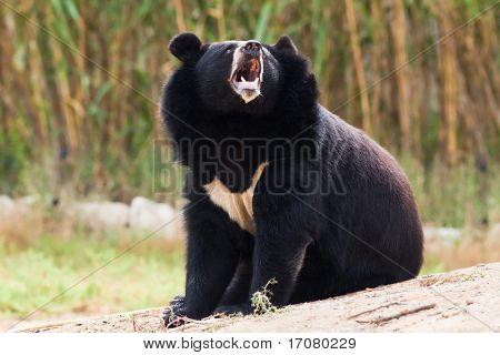tibetan bear howling in nature