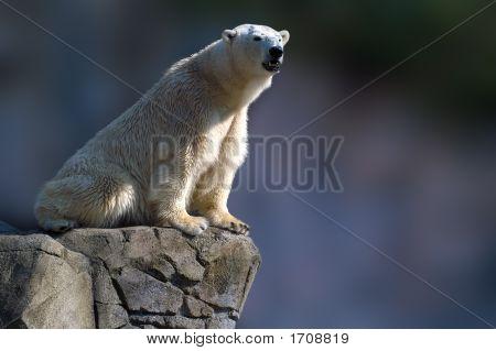 Polar Ice Bear Sitting