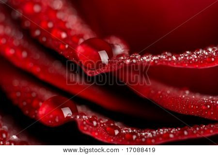 macro of red rose with water drops