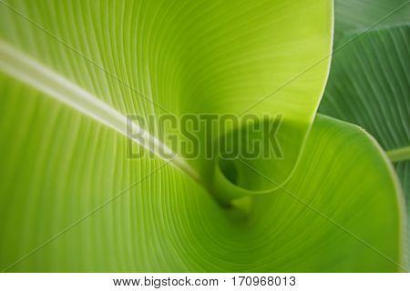 Detail of green banana leaf background in nature